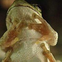 びたっと張り付くカエル