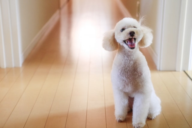 ちょっこりと玄関でお出向をする犬