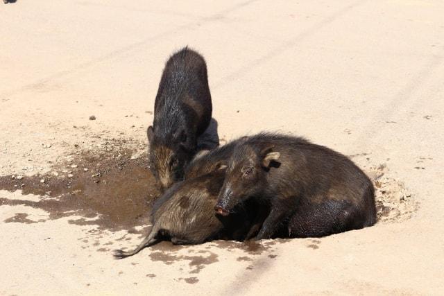 ずぼずぼと泥遊びする豚