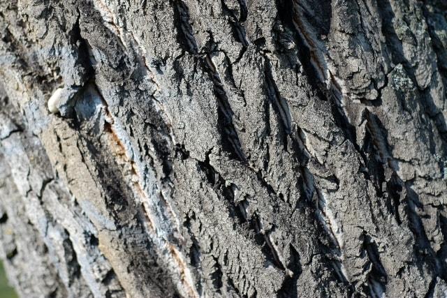 ざらりとした表面の樹の幹