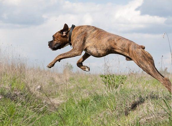 たんっと飛び上がる犬