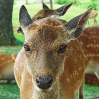びーと鳴く鹿