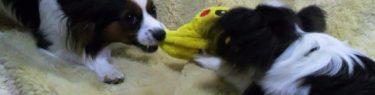 ずずっとおもちゃを引っ張り合う犬
