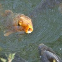 ぱくぱくと口を動かす鯉