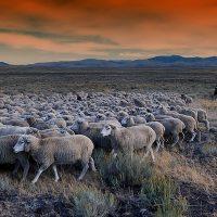 どーっと羊の群れが動く
