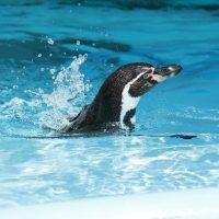 じゃぼんと潜るペンギン