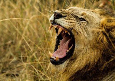 ばっくりと口を広げるライオン