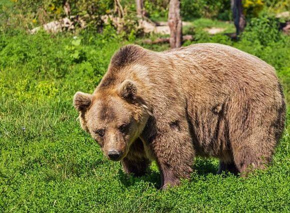 のそのそとクマが歩く