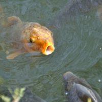 鯉が口をあくあくさせている。