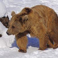 のそりのそりと歩くクマ