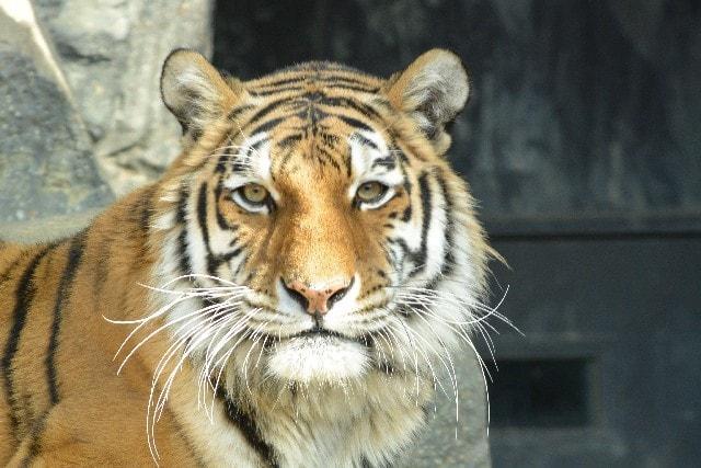 虎ががるると睨む