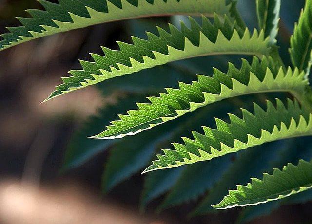 ぎざぎざとした葉