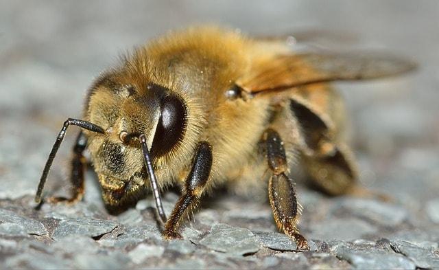 ちくちくと針を刺すハチ