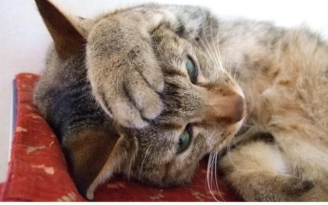 にゃんにゃんと鳴く猫