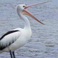 ぱっくりと口を広げる渡り鳥
