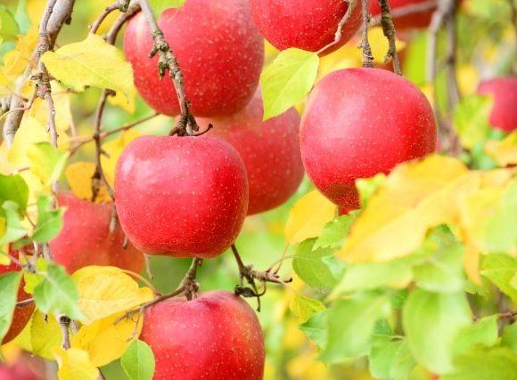 たわたわに実るリンゴ