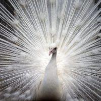 ばっと羽根を広げる孔雀