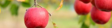たわわと実るリンゴ