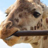 キリンが鉄棒をがっぷりと噛む