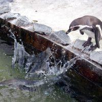 じゃんぶりこと水に飛び込むペンギン