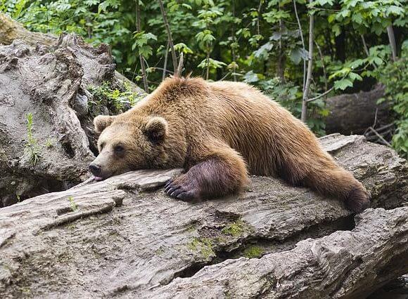 のたりと樹の幹に寝るクマ