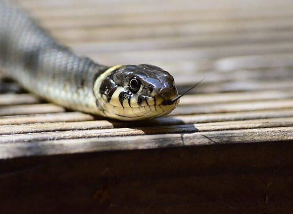 にょっとあらわれる蛇