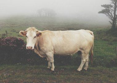 ぬーっと立つ牛