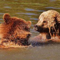 びっしょりと水に濡れるクマ