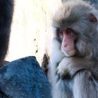 猿がきっきっと鳴く