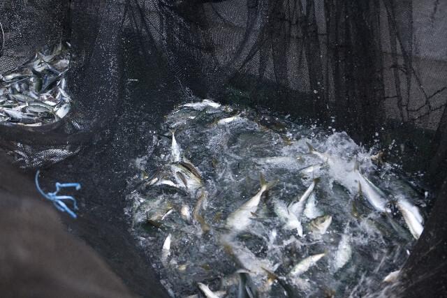 びちびちと魚が飛び跳ねる