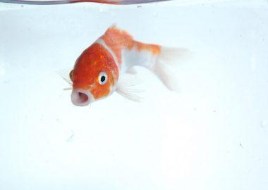 ぱくりと口を開く鯉