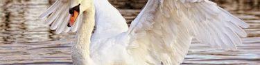 ばさばさと羽根を動かす白鳥