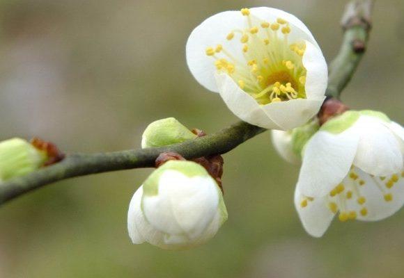 ちらほらと梅が咲き始める