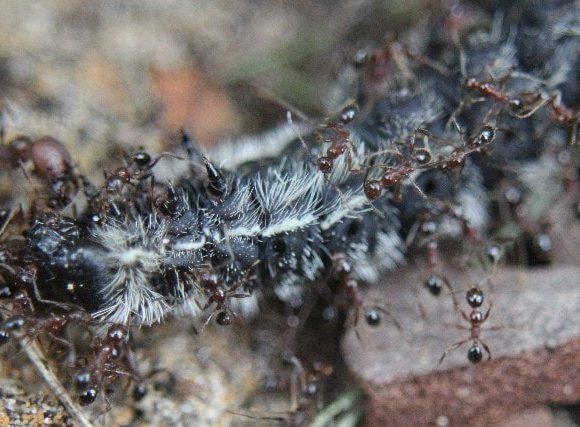 蟻が毛虫にうじょうじょと群がる。